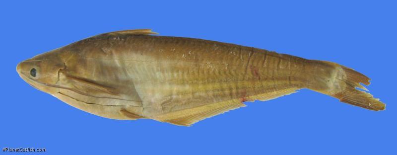 Clupisoma yunnanense