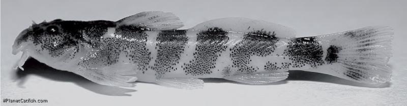 Zaireichthys conspicuus
