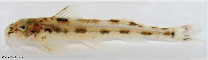 Zaireichthys monomotapa