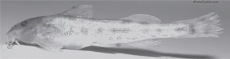 Zaireichthys pallidus