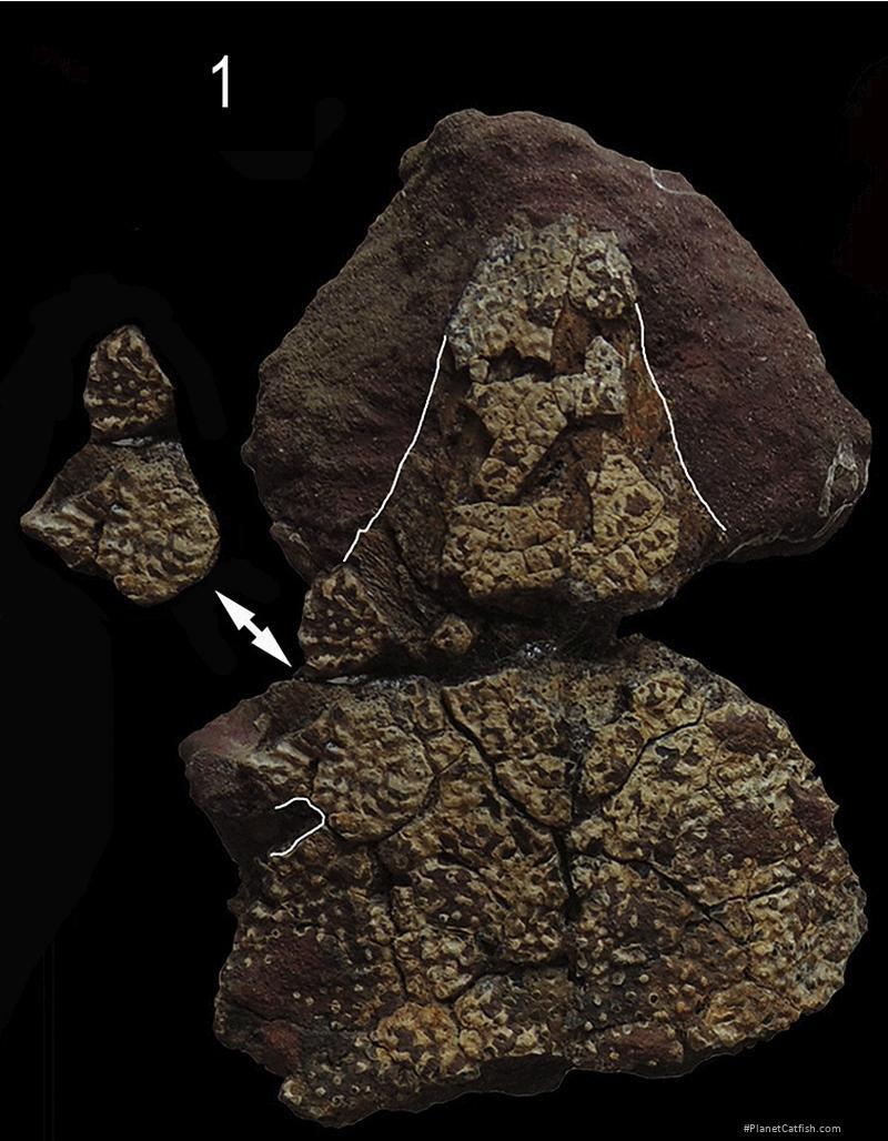 Amphiarius paleoorinocoensis