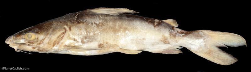 Arius leptonotacanthus
