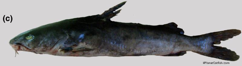 Aspistor luniscutis