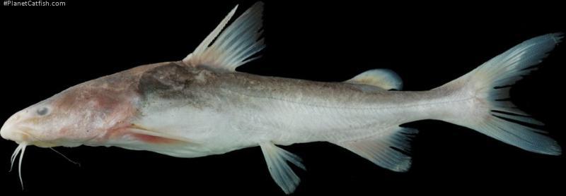 Cephalocassis borneensis