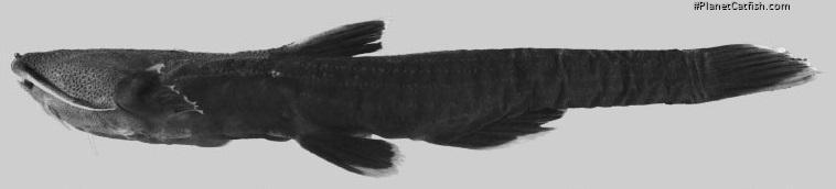 Xyliphius anachoretes