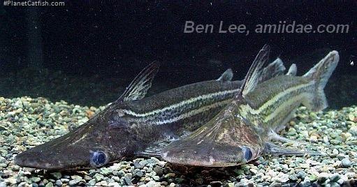 Ageneiosus lineatus