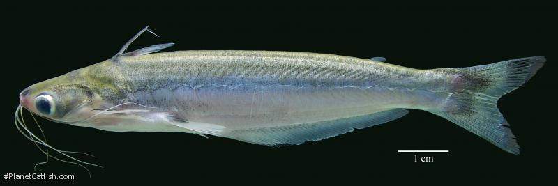 Auchenipterus dentatus