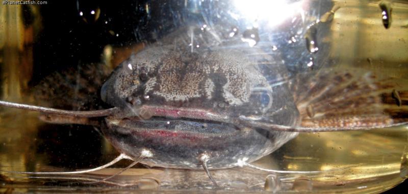 Trachelyopterus ceratophysus