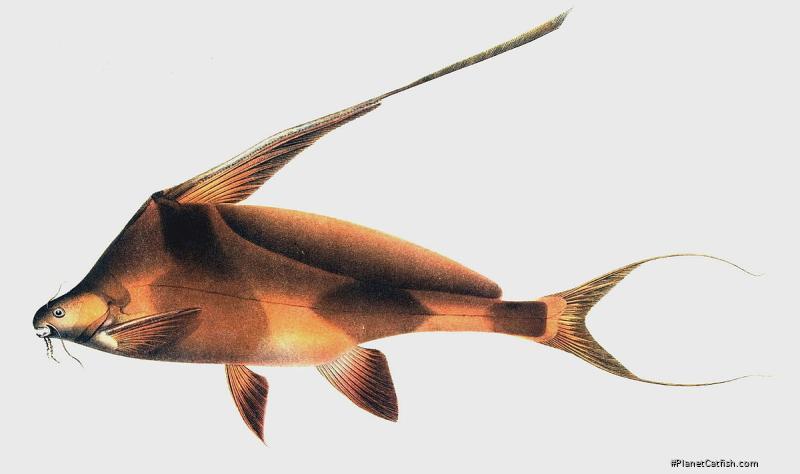Bagrichthys hypselopterus