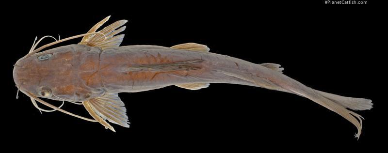 Hemibagrus lacustrinus