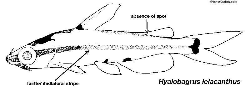 Hyalobagrus leiacanthus
