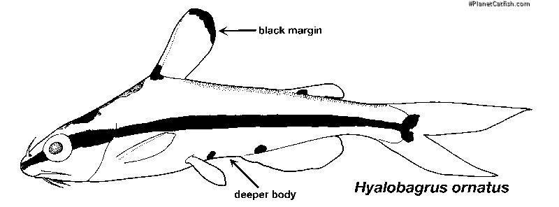 Hyalobagrus ornatus