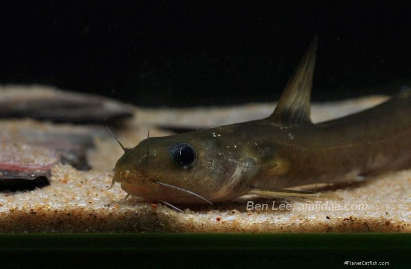 Tachysurus gracilis