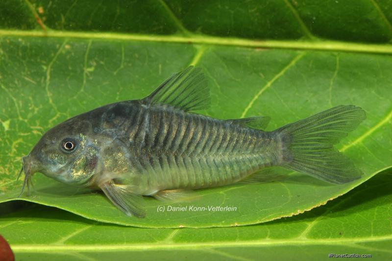 Corydoras(ln7) sp. (Cw093)