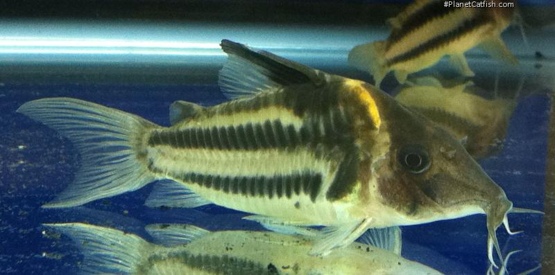 Corydoras(ln8sc4) bifasciatus