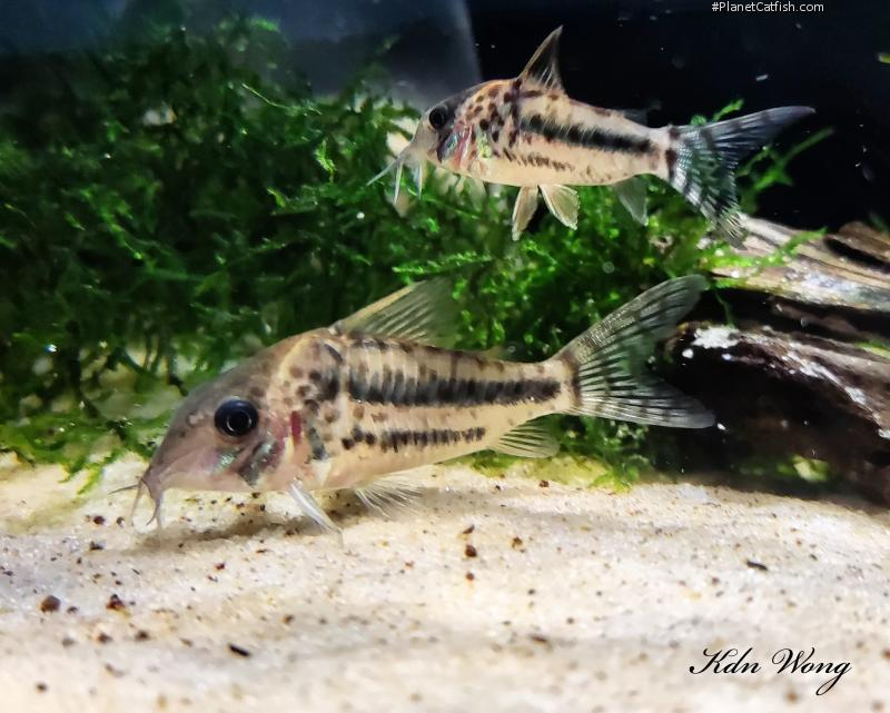 Corydoras(ln8sc4) brittoi