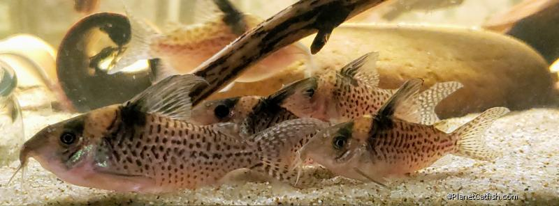 Corydoras(ln8sc4) delphax