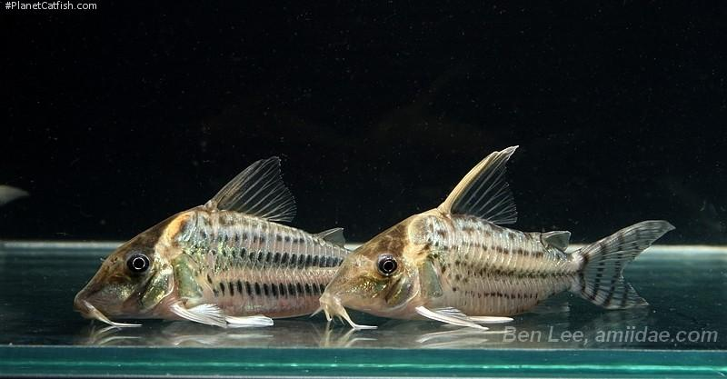 Corydoras(ln8sc4) sp. (C141)