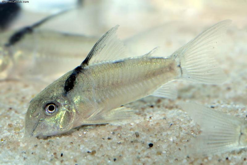 Corydoras(ln9) sp. (Cw030)