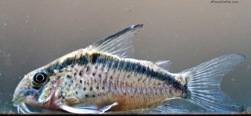 Corydoras(ln9) sp. (Cw159)