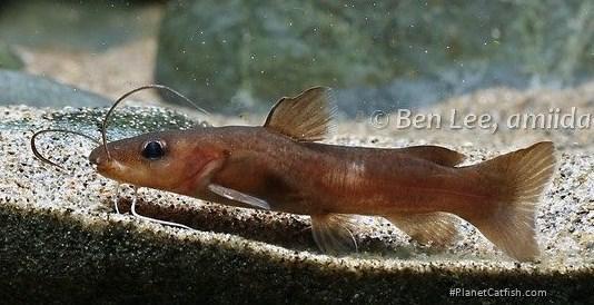 Phyllonemus brichardi