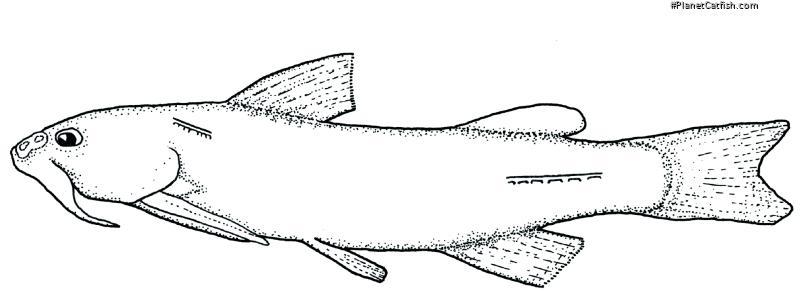 Olivaichthys viedmensis
