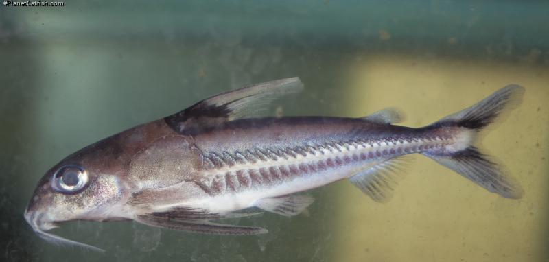 Tenellus leporhinus