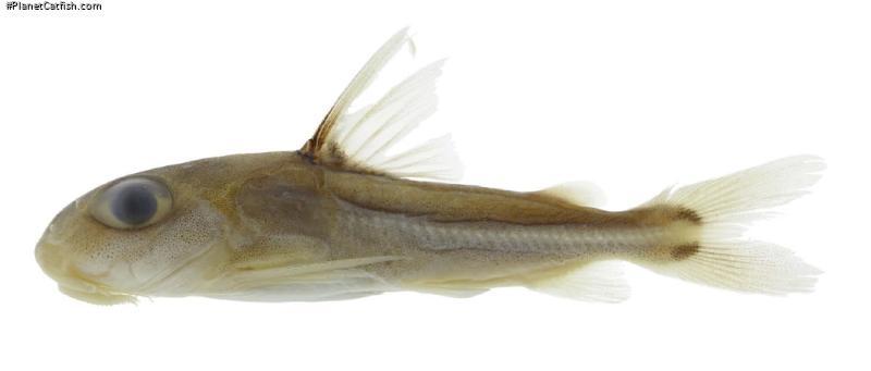 Trachydoras gepharti