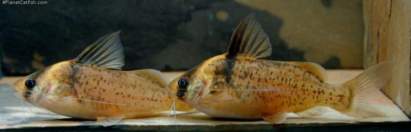 Agassizi Cory Cat - Corydoras Catfish - Corydoras agassizi ...