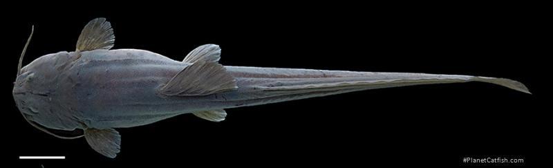 Heptapterus carnatus