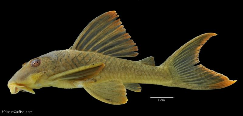 Ancistomus cf. snethlageae
