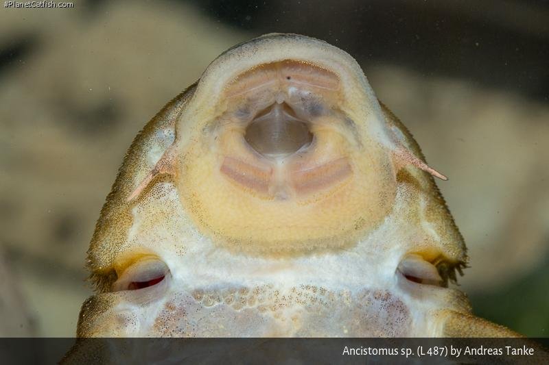 Ancistomus sp. (L487)