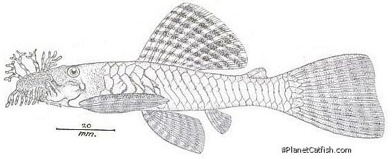 Ancistrus lineolatus