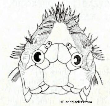 Ancistrus macrophthalmus