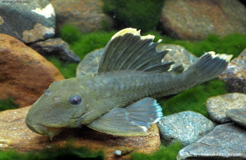 Baryancistrus chrysolomus