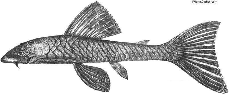 Chaetostoma lepturum