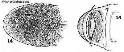 Chaetostoma niveum