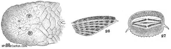 Chaetostoma patiae