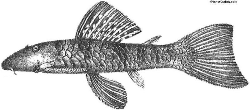Chaetostoma paucispinis