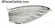 Chaetostoma platyrhynchus