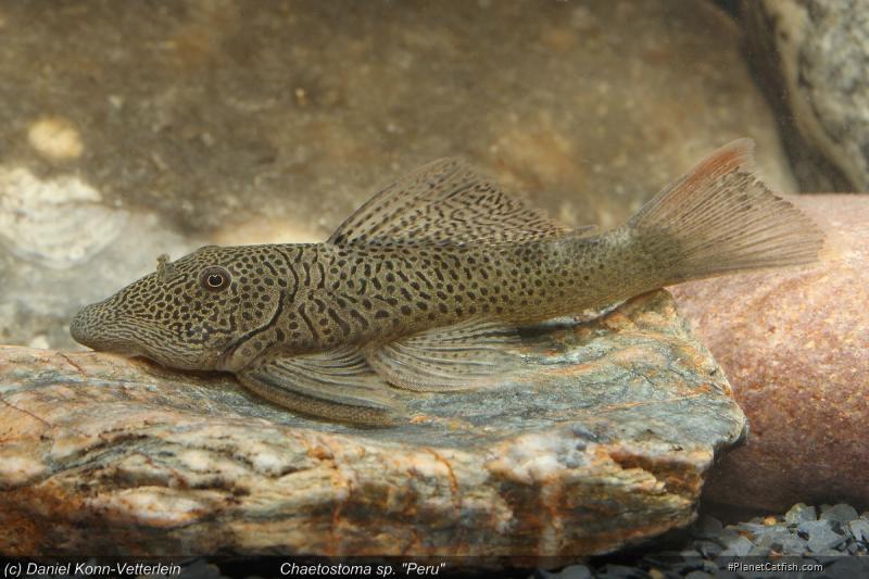 Chaetostoma sp. `PERU`