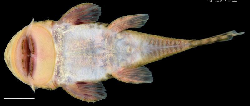 Chaetostoma spondylus