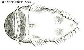 Chaetostoma vagum
