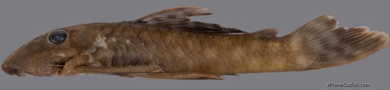 Cryptancistrus similis