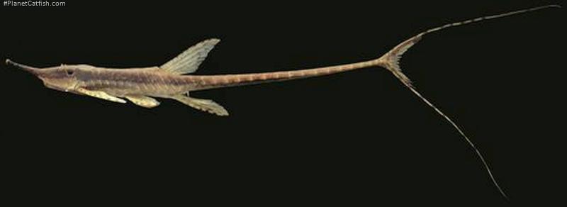 Farlowella azpelicuetae
