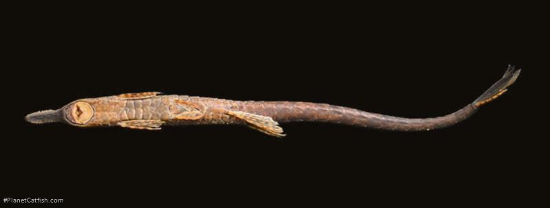 Farlowella mitoupibo