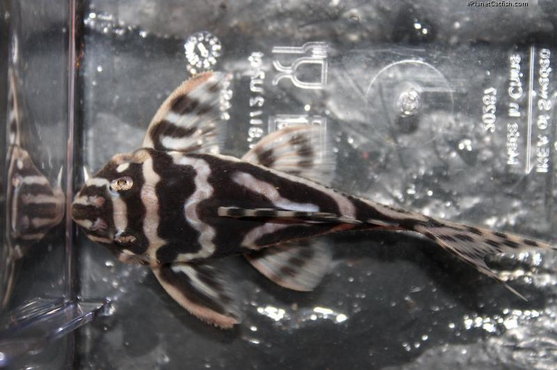 Hypancistrus sp. (L173)