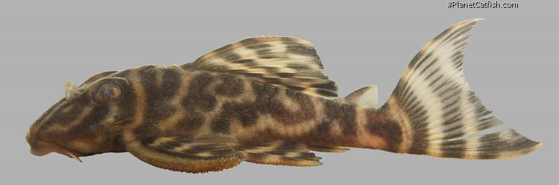 Hypancistrus sp. (L475)