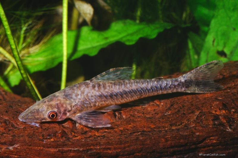 Hypoptopoma gulare