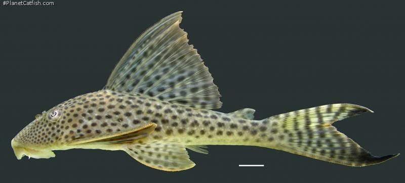 Hypostomus gymnorhynchus